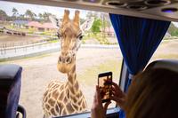 Van Gogh trifft Giraffe